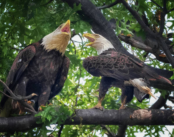 Photograph - Eagle Pair  by Richard Kopchock