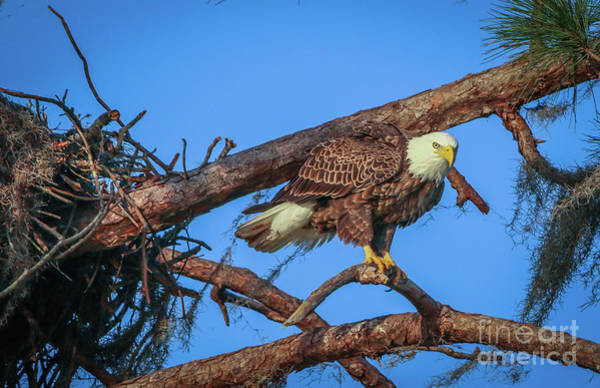 Photograph - Eagle Perch by Tom Claud