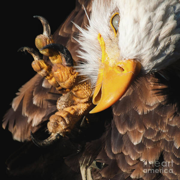 Photograph - Eagle Scratch by Eyeshine Photography