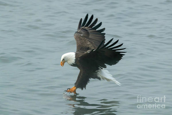 Photograph - Eagle Season Ix by Beve Brown-Clark Photography