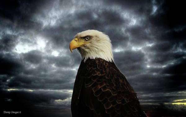 Photograph - Eagle Stare by Wesley Nesbitt