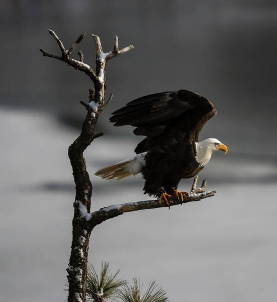 Photograph - Eagle Take Off by Mark Kiver