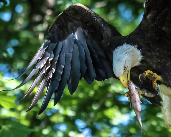 Wall Art - Photograph - Eagle Taking Flight by Linda Eszenyi