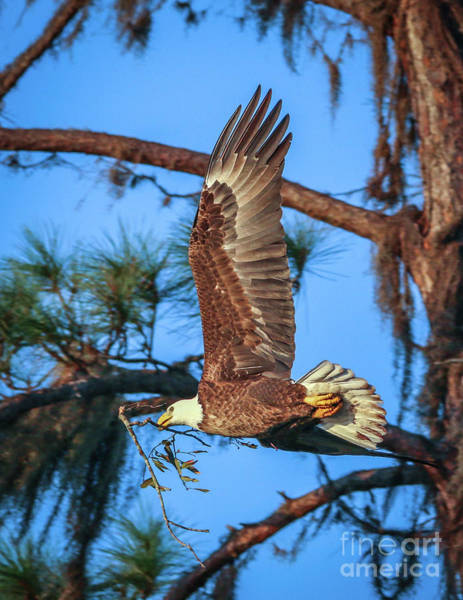 Photograph - Eagle With Nesting Material by Tom Claud