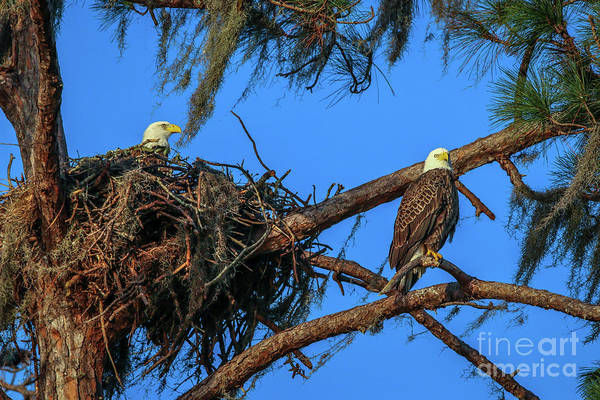 Photograph - Eagles At Nest by Tom Claud