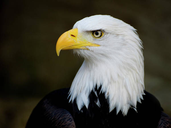 Eagle Photograph - Eagles Piercing Look by Saffron Blaze