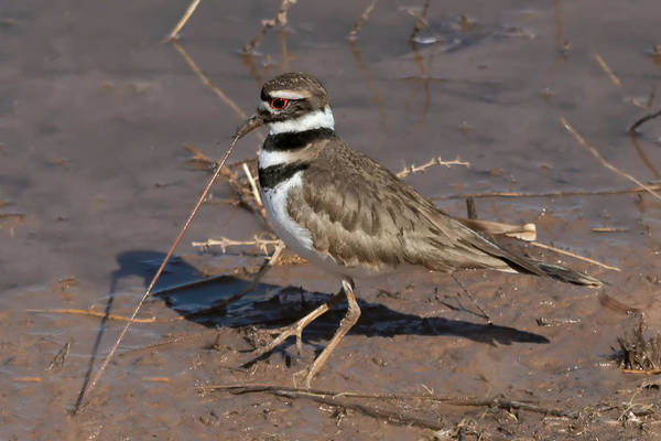 Wall Art - Photograph - Early Killdeer Gets The Worm by Kathleen Bishop