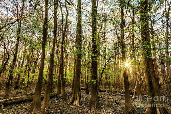 Photograph - Early Morning Congaree National Park  by Thomas R Fletcher
