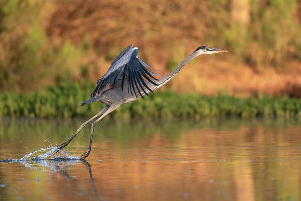 Wall Art - Photograph - Early Morning Heron by Paul Martin
