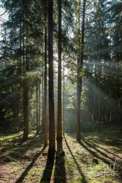 Wall Art - Photograph - Early Morning In Coniferous Forest by Michal Boubin