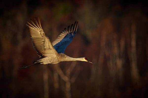 Wall Art - Photograph - Early Morning Light Sandhill Crane by Paul Freidlund