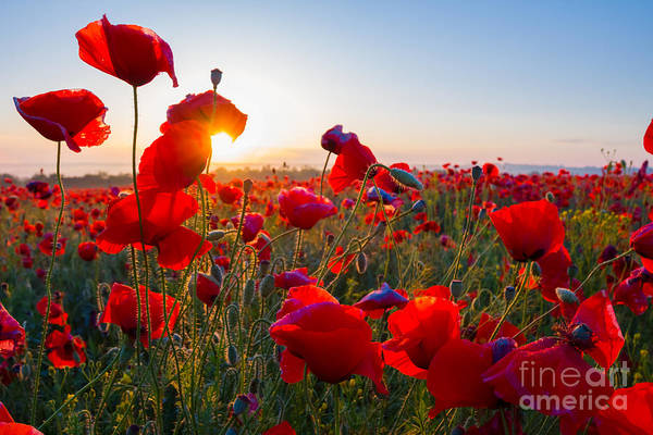 Wall Art - Photograph - Early Morning Red Poppy Field Scene by Yuriy Kulik