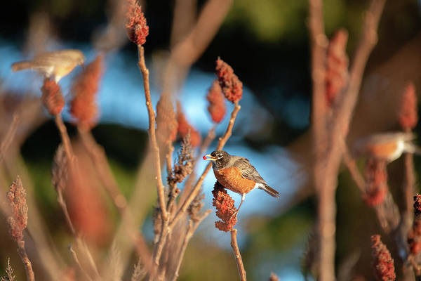 Photograph - Early Season Robins by Brian Hale