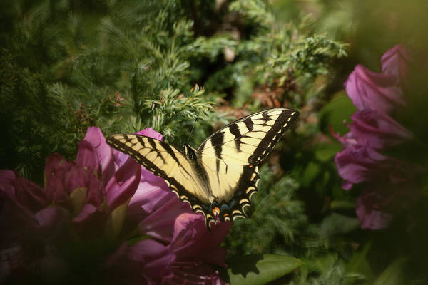 Photograph - Easter Tiger Swallowtail On Rhododendron by Jeff Folger