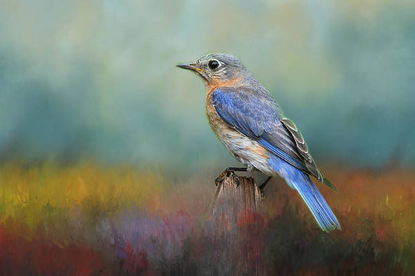 Bluebird Mixed Media - Eastern Bluebird In The Meadow by Isabela and Skender Cocoli