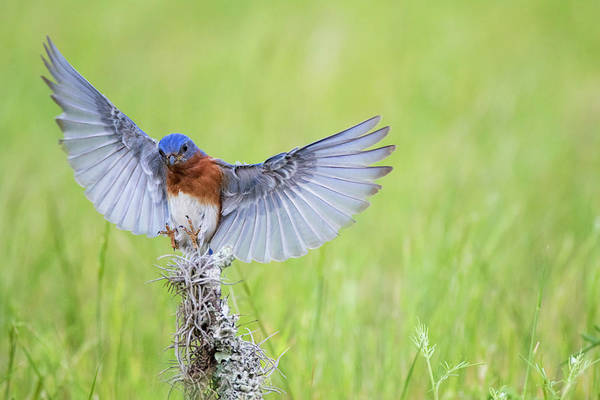 Wall Art - Photograph - Eastern Bluebird Adult Male by Larry Ditto