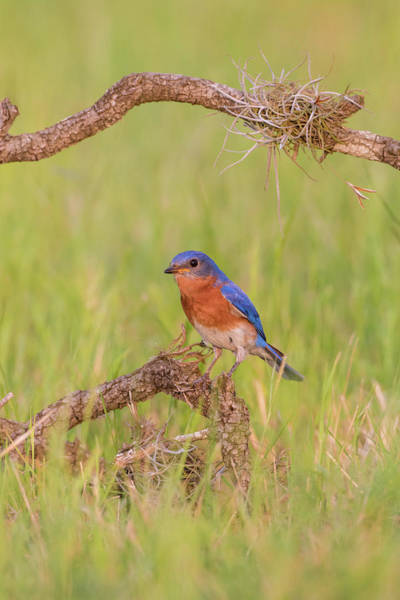Wall Art - Photograph - Eastern Bluebird Adult Male Perched by Larry Ditto