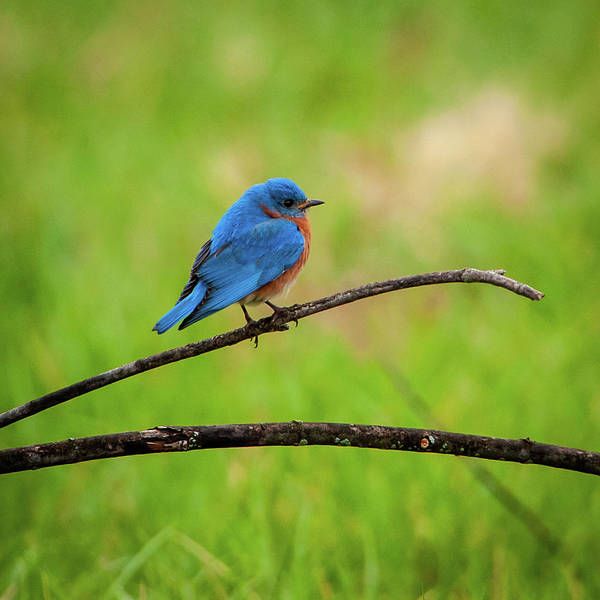 Photograph - Eastern Bluebird II by Jeff Phillippi