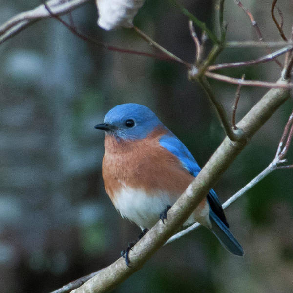 Photograph - Eastern Bluebird Portrait by Cascade Colors