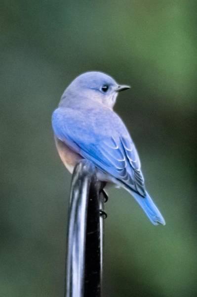 Wall Art - Photograph - Eastern Bluebird Portrait - Vertical by Mary Ann Artz