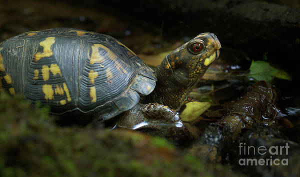 Box Turtle Photograph - Eastern Box Turtle 6 by Mike Eingle
