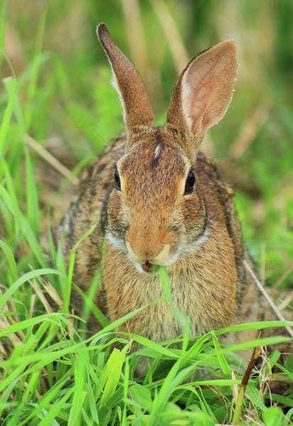 Wall Art - Photograph - Eastern Cottontail Feeding by John Burk