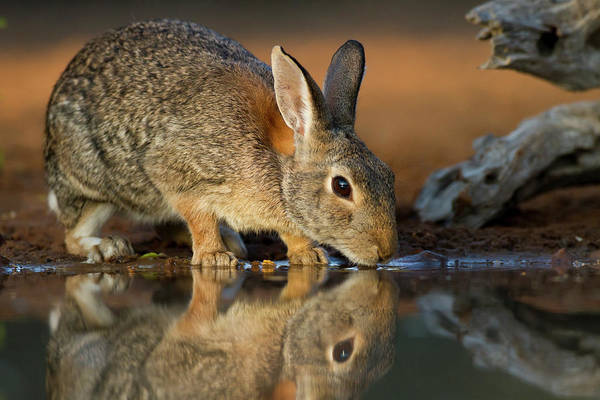 Cottontail Photograph - Eastern Cottontail Rabbit Sylvilagus by Danita Delimont
