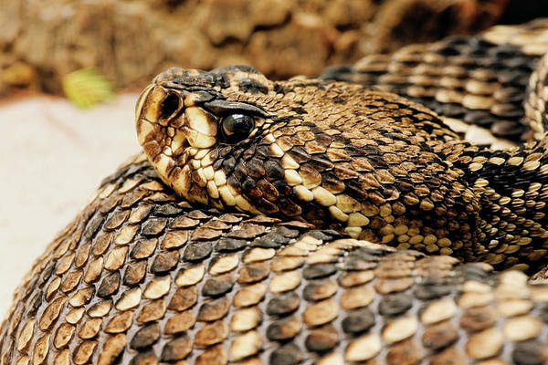 Wall Art - Photograph - Eastern Diamondback Rattlesnake by Adam Jones