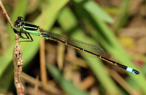 Photograph - Eastern Forktail Damselfly by Larah McElroy