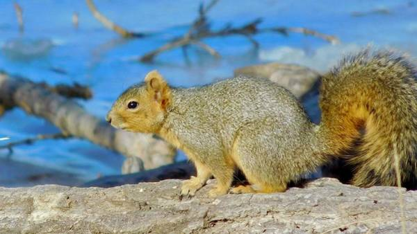 Photograph - Eastern Fox Squirrel by Dan Miller