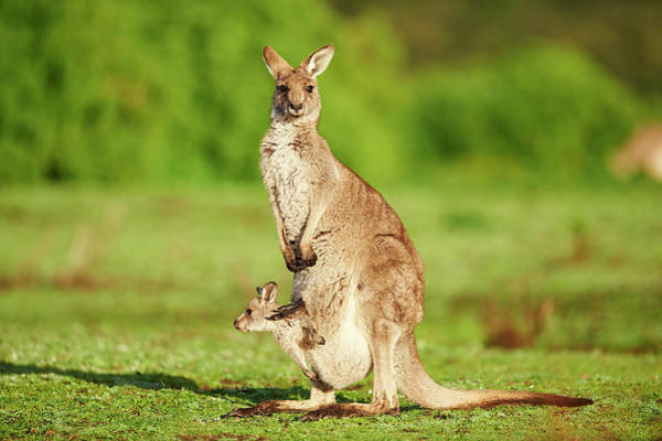 Wall Art - Photograph - Eastern Gray Kangaroo Macropus Giganteus Mother Animal With Her Youngster On A Meadow Great Otway by imageBROKER - David  Micha Sheldon