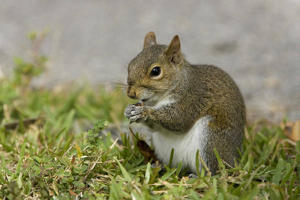 Wall Art - Photograph - Eastern Grey Squirrel by David Hosking