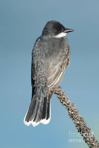 Wall Art - Photograph - Eastern Kingbird Profile by Mike Dawson