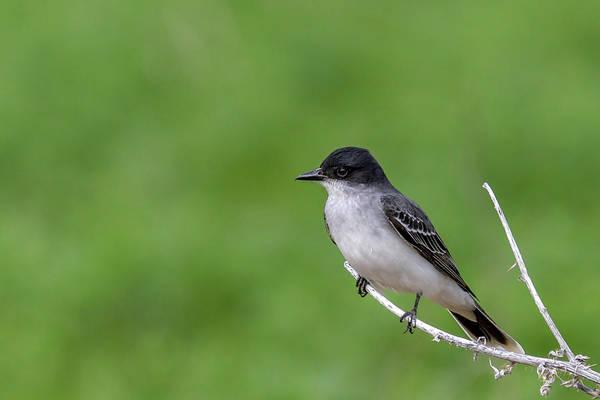 Photograph - Eastern Kingbird by Ronnie and Frances Howard