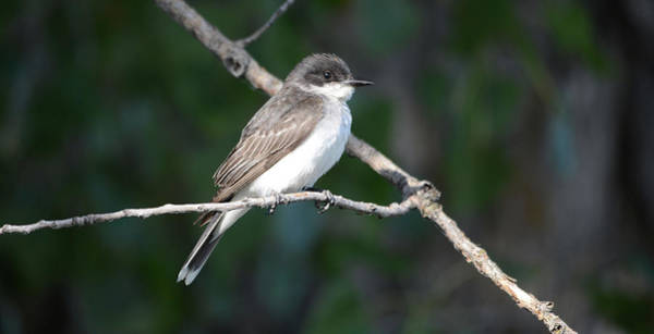 Wall Art - Photograph - Eastern Kingbird by Whispering Peaks Photography