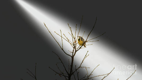 Photograph - Eastern Meadowlark by Randy J Heath