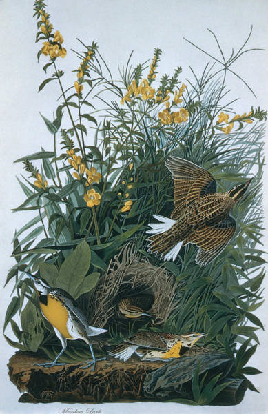 Meadowlark Digital Art - Eastern Meadowlarks Sturnella Magna by N A S.