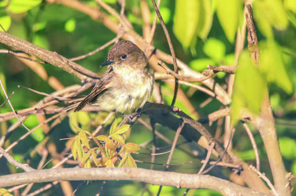 Photograph - Eastern Phoebe by Dan Sproul