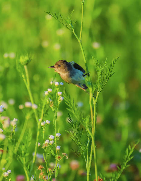 Wall Art - Photograph - Eastern Phoebe In Summer Field by Dan Sproul