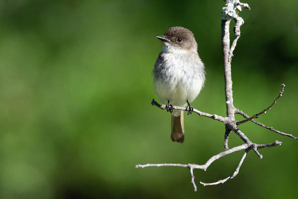 Wall Art - Photograph - Eastern Phoebe Original by Debra Martz