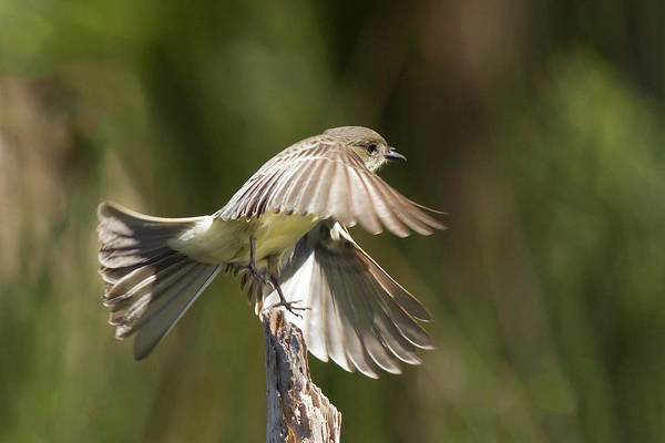 Photograph - Eastern Phoebe by Paul Rebmann