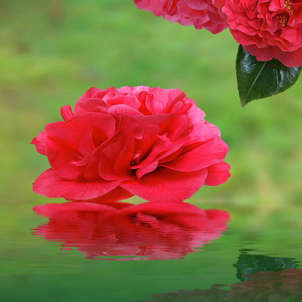 Camelia Photograph - Eastern Promise - Red Camellia Reflections by Gill Billington