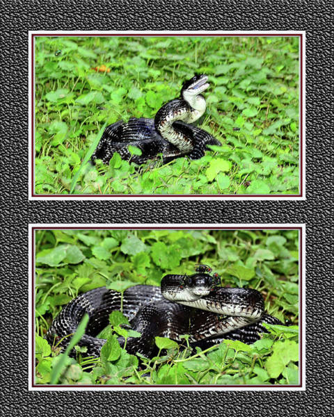 Wall Art - Mixed Media - Eastern Ratsnake by Constance Lowery