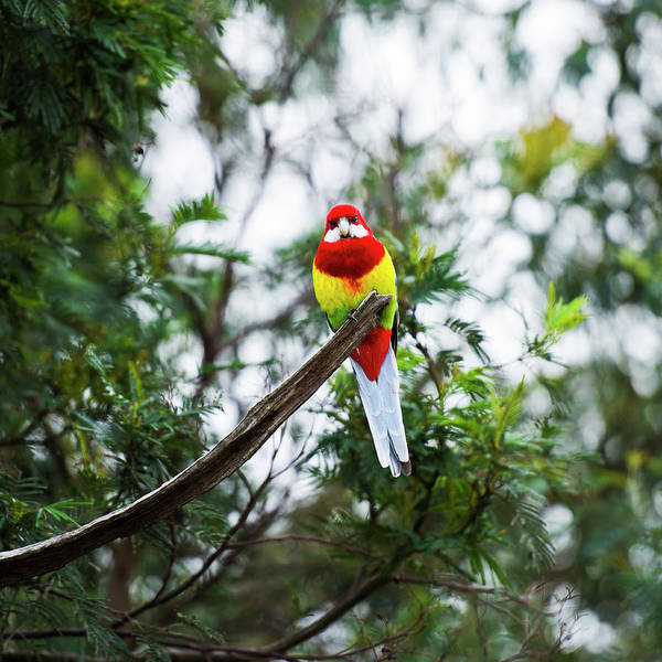 Photograph - Eastern Rosella by Rob D Imagery