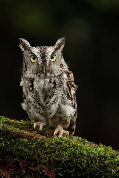 Screech Owl Photograph - Eastern Screech Owl by Alex Thomson Photography