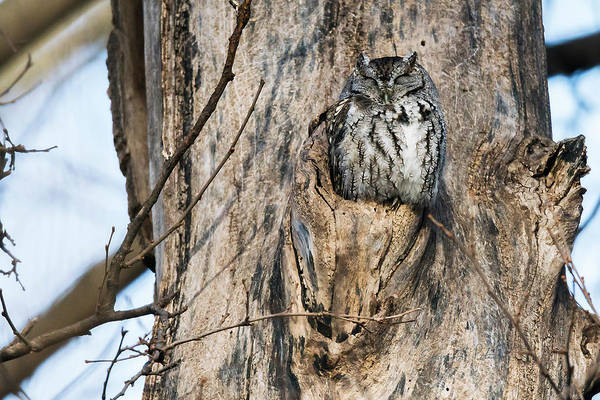 Photograph - Eastern Screech-owl Perch by Edward Peterson
