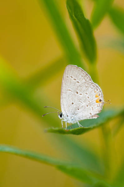 Wall Art - Photograph - Eastern Tailed Blue by Michael Lustbader