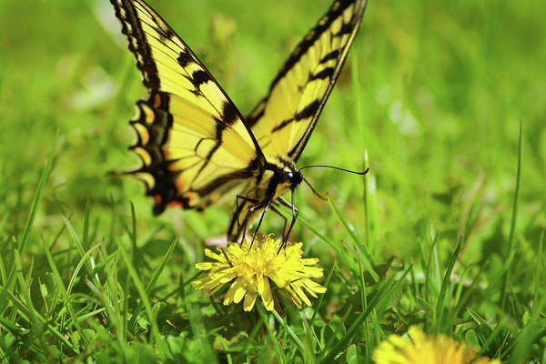 Photograph - Eastern Tiger Swallowtail Butterfly by Christina Rollo