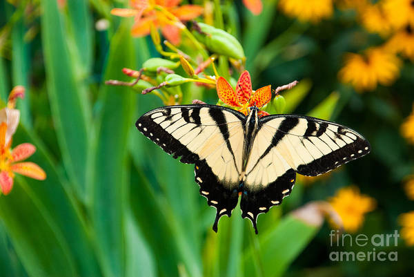 Wall Art - Photograph - Eastern Tiger Swallowtail Butterfly In by J. Marquardt