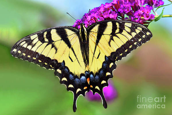 Wall Art - Photograph - Eastern Tiger Swallowtail On Butterfly Bush by Regina Geoghan